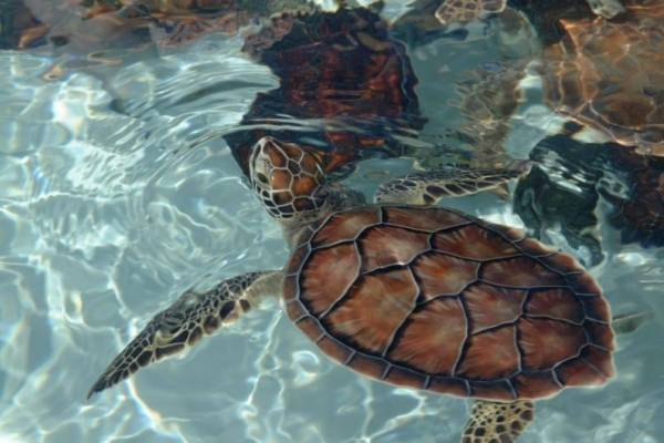 Turtles at Cayman Turtle Centre